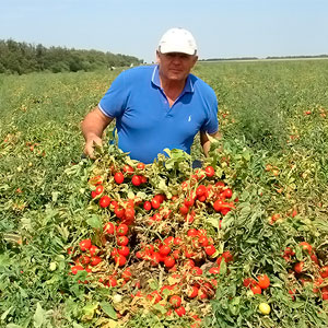 Интенсивное производство томата в Краснодарском крае