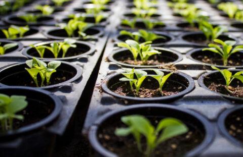 Использование стимуляторов роста при выращивании рассады овощей