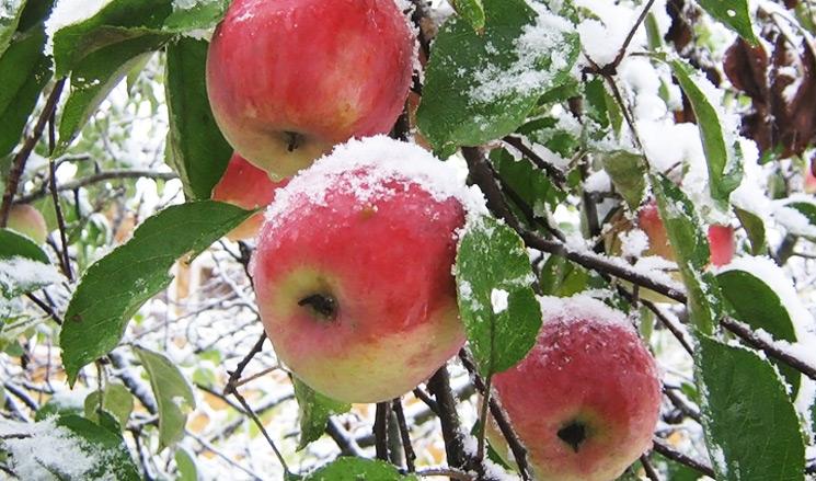 Использование укрывных материалов на плодовых культурах в холодное время года