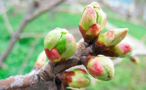 Ключевые микроэлементы для формирования плодовых почек на будущий год