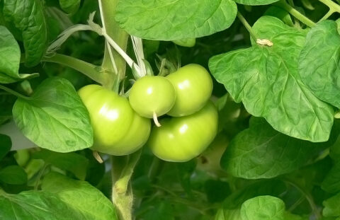 Может ли минеральное питание влиять на заболевания растений?
