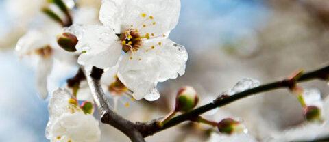 Обработки и меры, позволяющие снизить потери урожая от воздействия весенних заморозков