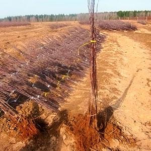 Подготовка и посадка саженцев плодовых деревьев. Часть 2.