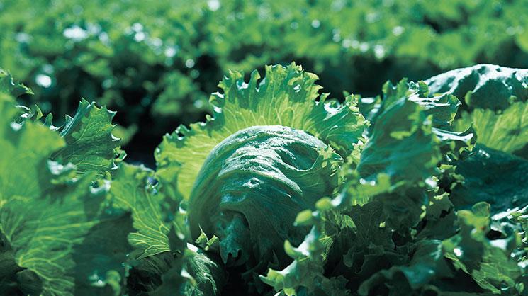 Важность микроэлементов в питании овощных культур