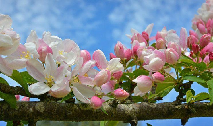 Влияние листовых обработок бором на качество цветения плодовых и ягодных культур