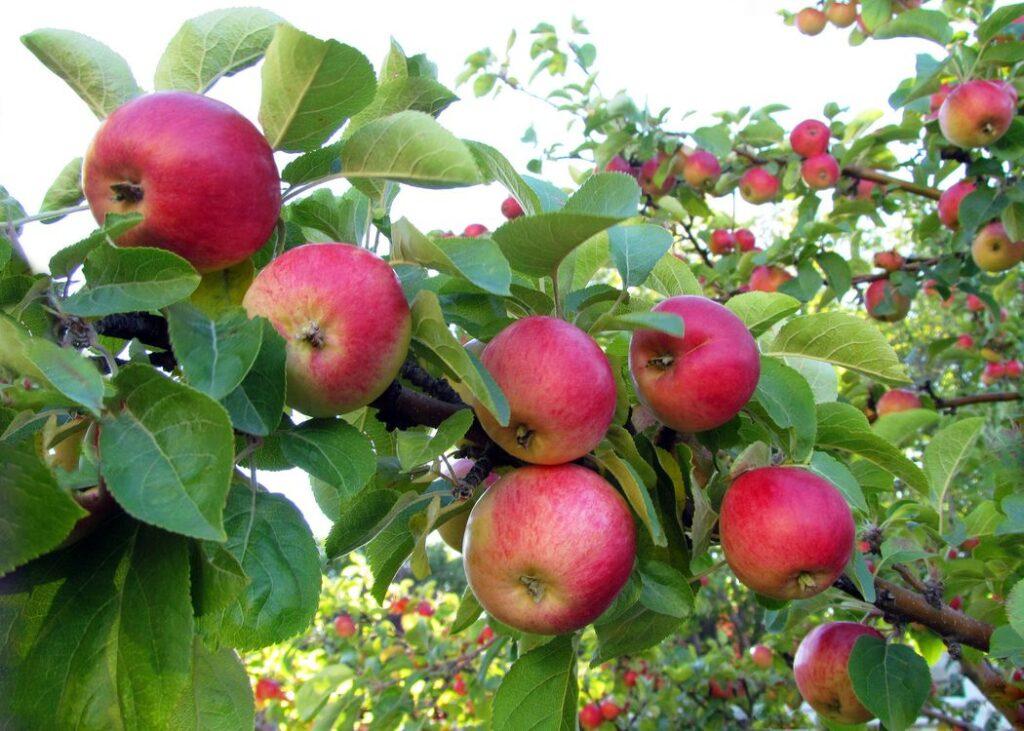 Профилактика горькой ямчатости на яблоне