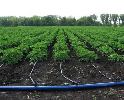 капельный полив картошки