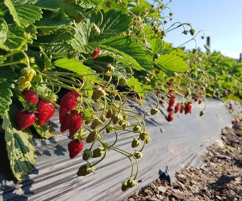 фертигация для садов голубики земляники малины