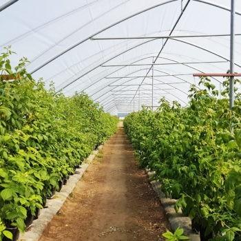 Преимущества выращивания ягодных культур в высоких туннелях