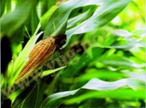Использование капельного полива для сельскохозяйственных культур – новое направление в ирригации