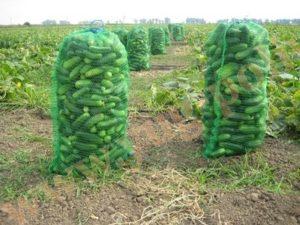 Капельное орошение – один из приемов ресурсосберегающей технологии выращивания огурца