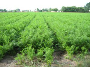 Капельное орошение и фертигация – основные элементы интенсивной технологии производства моркови