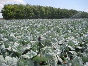 Орошение капусты спринклерами