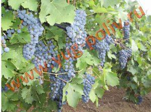 Орошение винограда