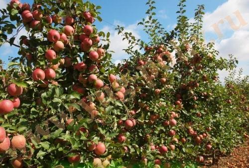 Применение регуляторов роста в интенсивных садах яблони