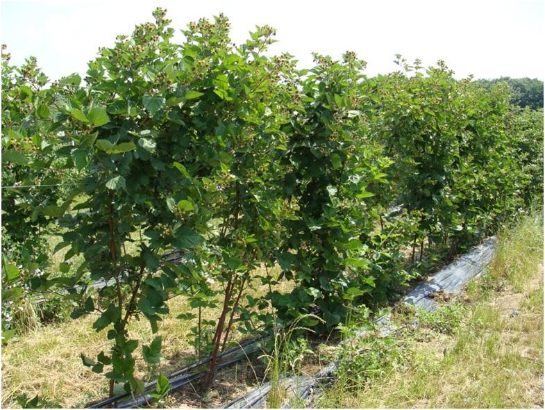 Выращивание ежевики на капельном орошении с использованием мульчирующей пленки