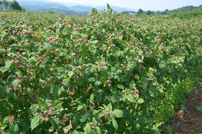 Плодоносящие плантации малины