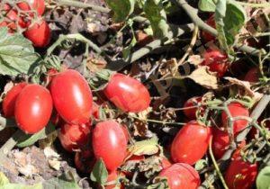 Выращивание томатов на капельном орошении для консервной промышленности в условиях КБР
