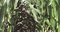 Высокий урожай кукурузы с точки зрения количества и качества. Капельное орошение бросает вызов засухе, фермеры становятся более благоразумными
