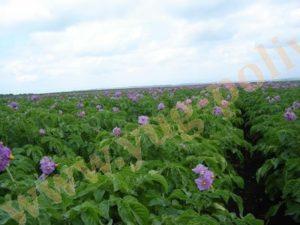 Экономическая оценка выращивание картофеля на капельном орошении в Воронежской и Липецкой областях